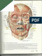 Facial Muscles - Buccinators