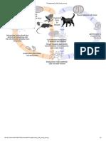 Toxoplasmosis Life Cycle En