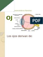 Embriologia del ojo