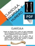 Clavicula, Escápula y Húmero