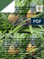 Cultivo de Piña