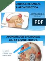 Aponeurosis Epicraneal