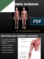 musculos del miembro supoerir