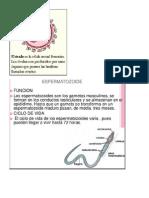ovario espermatozoide.