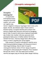 Lalat Buah