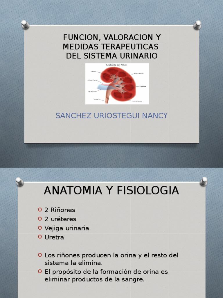 Sistema Urinario anatomia