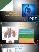 Anatomia Genitourinaria