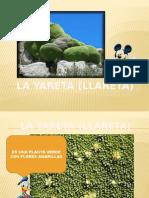 La Yareta (Llareta)