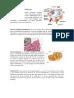 ORGANELAS CITOPLASMATICAS.docx