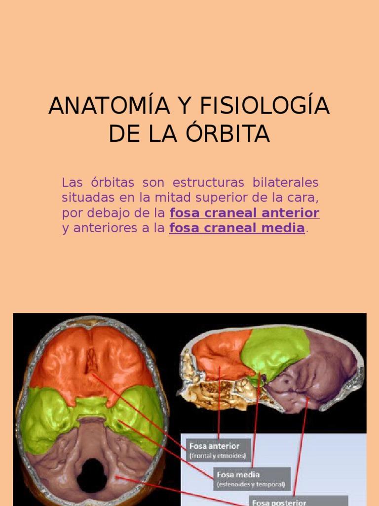 Anatomía y Fisiología de La Órbita