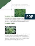 A Cannabis Sativa é Da Familia Da Urtiga