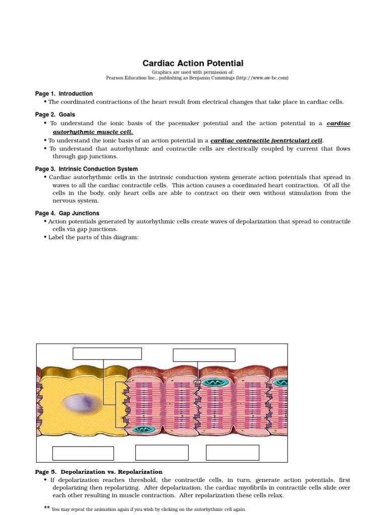 Cardiac Action Potential Depolarization Membrane Potential