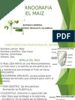 Organografia Del Maiz