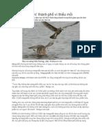 Chim 'xâm lược' thành phố vì thiếu mồi.pdf