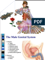 2.2 Histo-male Genital