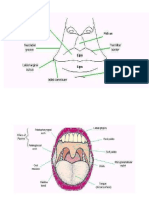 Anatomy of Oral Cavity