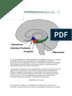 La Amígdala Cerebral