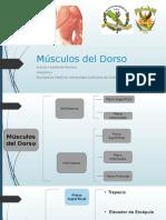 Músculos Del Dorso