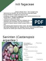 Famili Fagaceae