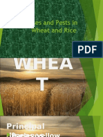 Diseases and Pests in Wheat and Rice