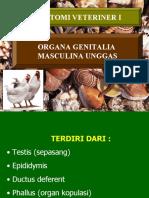 Organa Genitalia Masculina Unggas