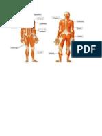 Huesos, Musculos y Articulaciones