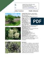 sambucus.pdf