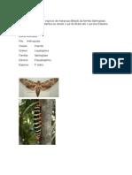 Mariposas Pseudosphinx tetrio