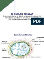 Nucleo - Ciclo Celular - Control Ciclo