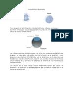 Imagenes Desarrollo Embrionario