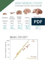 comparativo de cerebros de diferentes animales incluyendo al hombre