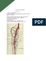 Artera membru inefrior