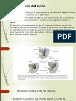 Embriologia riñon