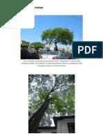 Fotos – Árvores e Florestas _ Árvores de São Paulo