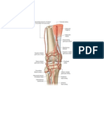 Arterial Supply of Knee