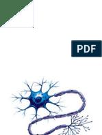 Neuroanatomía (Imágenes)