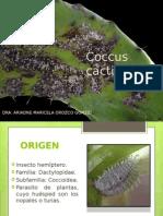 Coccus Cactis