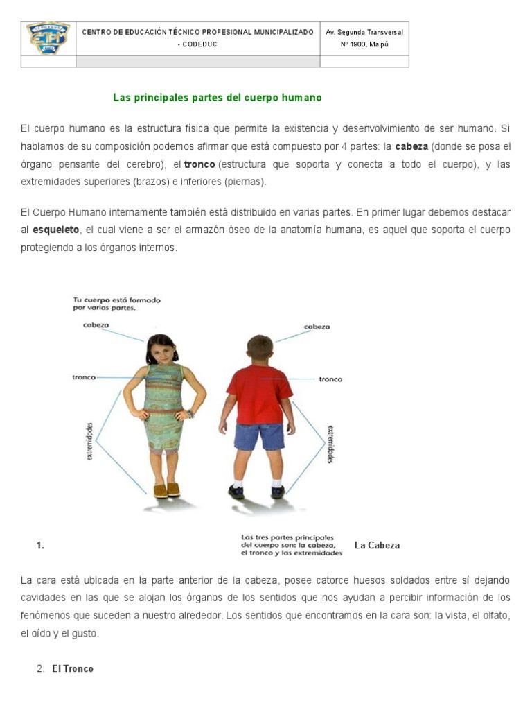 Las Principales Partes Del Cuerpo Humano Cuerpo Humano Tórax