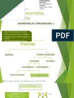 Hamamélia Folha Trabalho