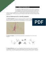 Corteza Cerebral y Áreas Funcionales