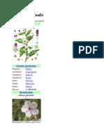 Althaea Officinalis
