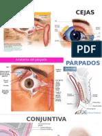 Anatomia de Anexos Del Ojo