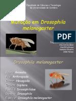Drosophila melanogaster(1)