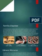 Família Elapidae - Esbouço