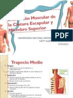 Evaluación Muscular de La Cintura Escapular y Miembro
