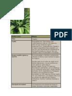 Maguey Planta