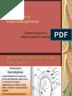 Ovogénesis y Espermatogénesis,Diferenciación Sexual