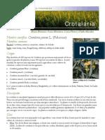 crotalaria