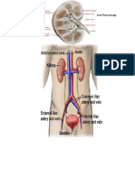 Anatomy and Patho of Pyelonephritis