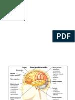 El Cerebro y Sus Funciones básicas